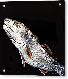 Caught In The Surf Redfish Acrylic Print
