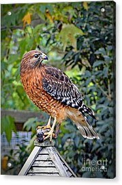 Caught In The Talons Acrylic Print