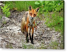 Acrylic Print featuring the photograph Cautious But Curious Red Fox Portrait by Debbie Oppermann