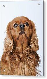 Cavalier King Charles Spaniel Looking Up, Studio Shot Acrylic Print by Martin Harvey