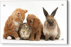 Cavapoo Pup, Rabbit, Guinea Pig Acrylic Print by Mark Taylor