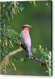 Cedar Waxwing 1 Acrylic Print