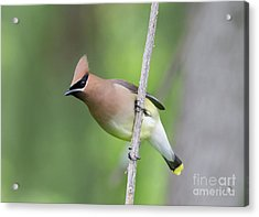 Acrylic Print featuring the photograph Cedar Waxwing 1 by Chris Scroggins