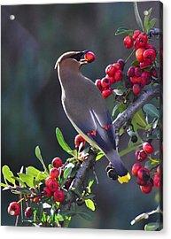 Cedar Waxwing 2 Acrylic Print by Linda Brody