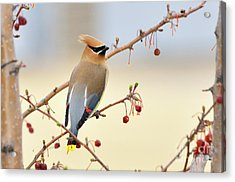 Cedar Waxwing Acrylic Print by Betty LaRue