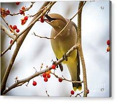 Cedar Waxwing Feeding  Acrylic Print