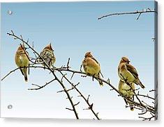 Cedar Waxwings Acrylic Print by Geraldine Scull