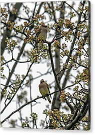 Cedar Waxwings In A Blossoming Tree Acrylic Print