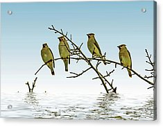 Cedar Waxwings On A Branch Acrylic Print by Geraldine Scull