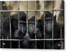 Celebes Macaques Macaca Nigra Sadly Acrylic Print