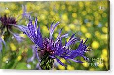 Centaurea Montana Flower Acrylic Print