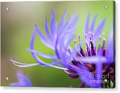 Centaurea Montana Acrylic Print by Tim Gainey