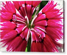 Center Of A Sweet William Acrylic Print by Mary Ellen Frazee