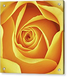 Center Of A Yellow Rose Acrylic Print by Jim Hughes