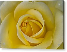 Centered Beautiful Yellow Rose Acrylic Print by Dina Calvarese