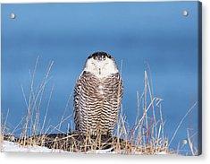 Centered Snowy Owl Acrylic Print