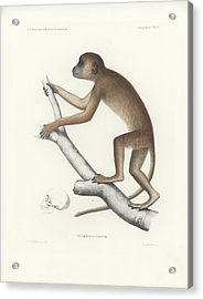 Acrylic Print featuring the drawing Central Yellow Baboon, Papio C. Cynocephalus by J D L Franz Wagner