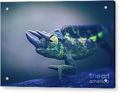 Acrylic Print featuring the photograph Chamaeleo Jacksonii by Sharon Mau