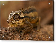 Acrylic Print featuring the photograph Chameleon by Riana Van Staden