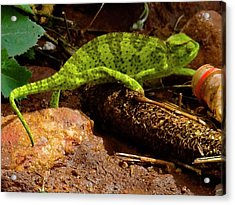 Chameleon Struts His Stuff Acrylic Print by Exploramum Exploramum