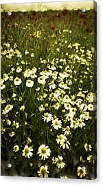 Acrylic Print featuring the painting Chamomile Lawn by Frank Tschakert