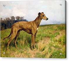 Champion Greyhound Dee Flint Acrylic Print by Arthur Wardle