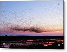 Chaos In Motion - Bird Of Many Birds Acrylic Print by Roeselien Raimond