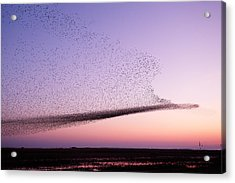 Chaos In Motion - Starling Murmuration Acrylic Print