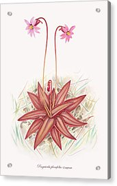 Chapman's Butterwort Acrylic Print by Scott Bennett