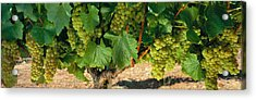 Chardonnay Grapes On The Vine, Napa Acrylic Print by Panoramic Images