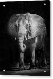 Charging Elephant Acrylic Print