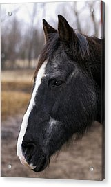 Charlie Head Study Acrylic Print by Laurie With