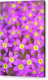 Acrylic Print featuring the photograph Charming Centaury by Alexander Kunz