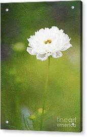 Charming White Cosmos Acrylic Print