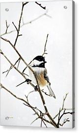 Charming Winter Chickadee Acrylic Print