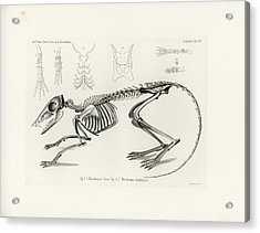 Checkered Elephant Shrew Skeleton Acrylic Print