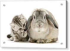 Checking For Grey Hares Acrylic Print