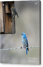 Checking The Nest Acrylic Print by Mike Dawson
