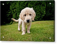 Cheeky Pup Acrylic Print by Richard Downs