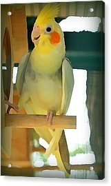 Cheerful Cockatiel Acrylic Print