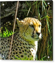 Cheetah   Face Acrylic Print by Debra     Vatalaro