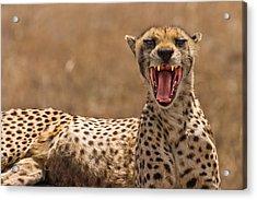 Cheetah Acrylic Print by Adam Romanowicz