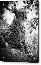 Cheetah B W, Guepard Black And White Acrylic Print
