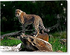 Cheetah Cub Finds Her Pride Rock Acrylic Print