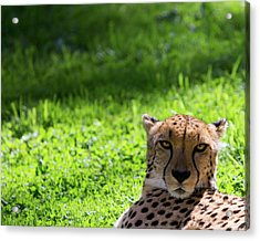 Acrylic Print featuring the photograph Cheetah Face by Rebecca Cozart
