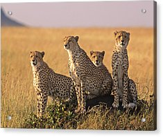 Cheetah Family Acrylic Print by Johan Elzenga
