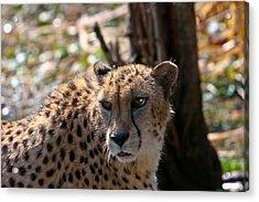Cheetah Gazing Acrylic Print by Douglas Barnett