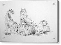 Cheetah Group Acrylic Print by Alan Pickersgill