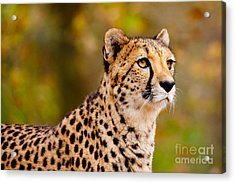 Cheetah In A Forest Acrylic Print