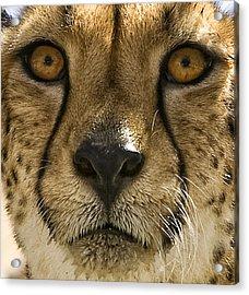Cheetah Acrylic Print by Lynn Andrews